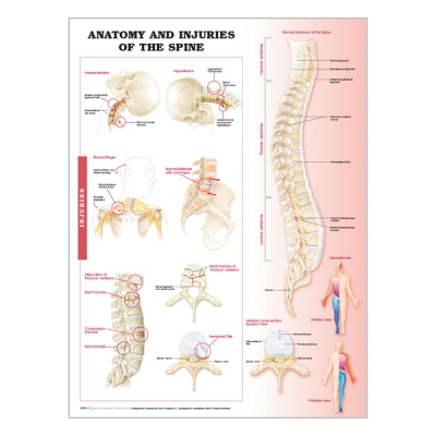 "Chart ""Anatomy & injuries of the spine"""