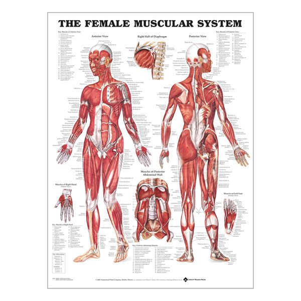 "Charte ""Female muscular system"""