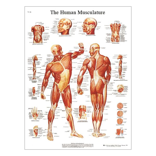 "Charte ""The human musculature"""
