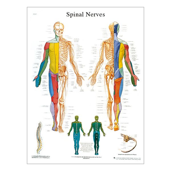 "Charte ""The spinal nerves"""