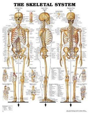 "Charte ""The Skeletal system"""